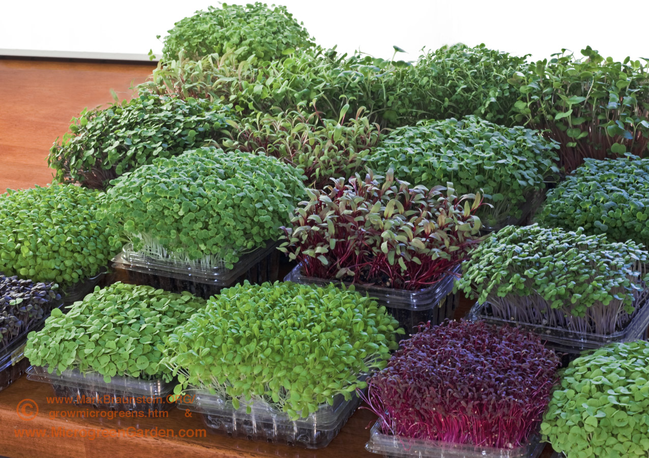 ARRAY of 16 types of MICROGREENS in repurposed fruit containers