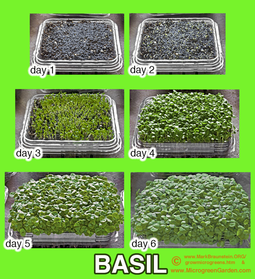 BASIL Microgreens, sequence of days 1 to 6