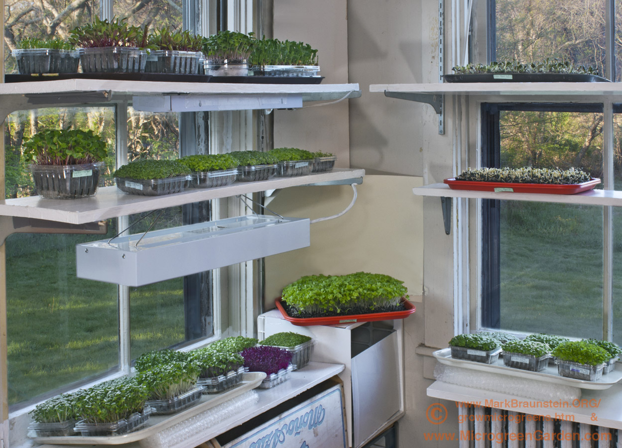 How To Microgreens Light