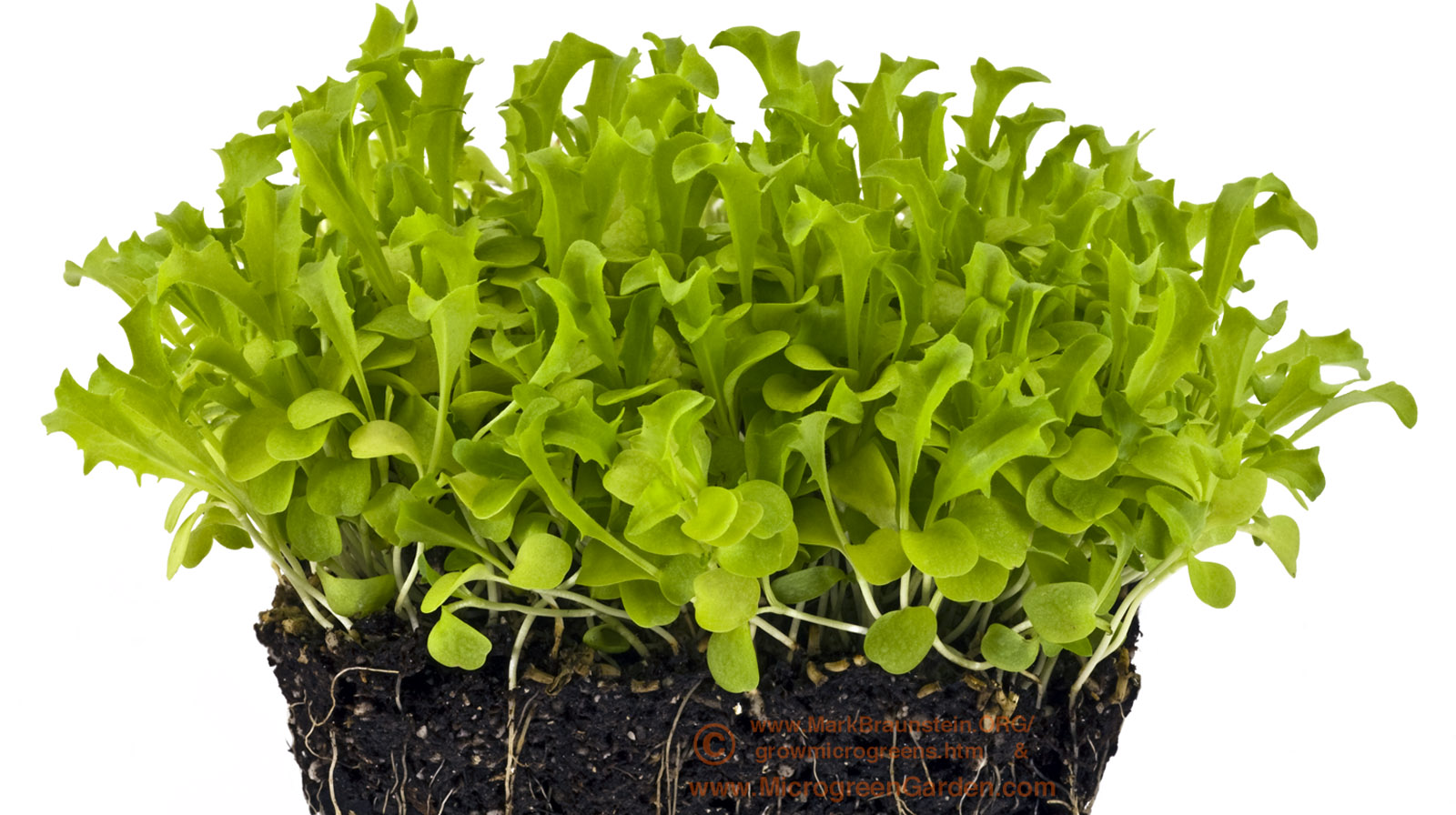 ENDIVE microgreens, 26 days since sown; true leaf stage