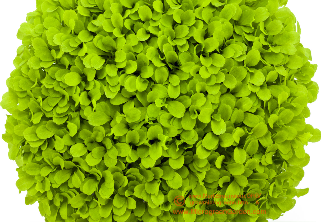 LETTUCE microgreens, Black Seeded Simpson, 2 weeks since sown