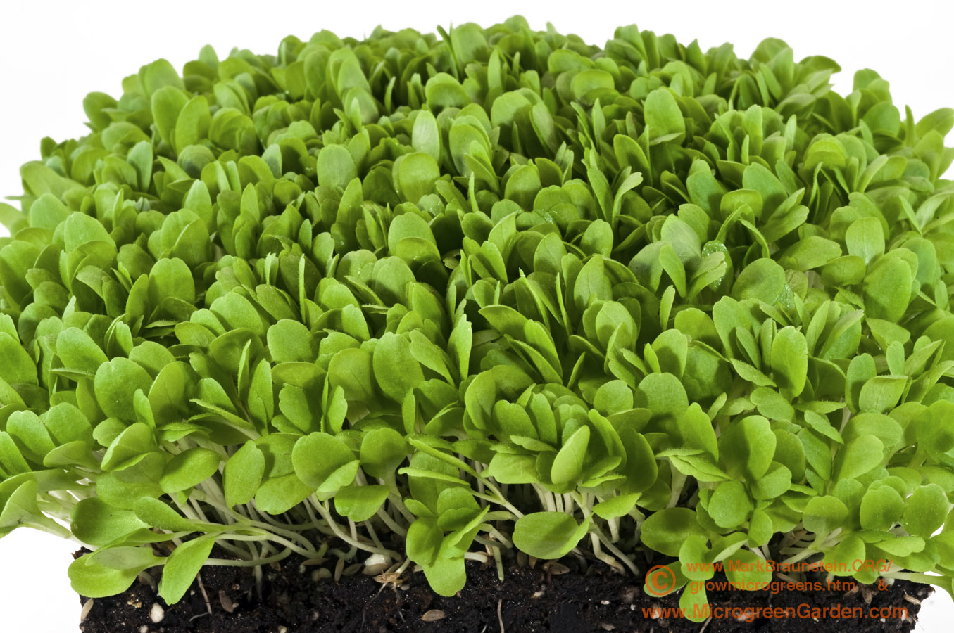 LETTUCE microgreens, Oakleaf, 6 days since sown