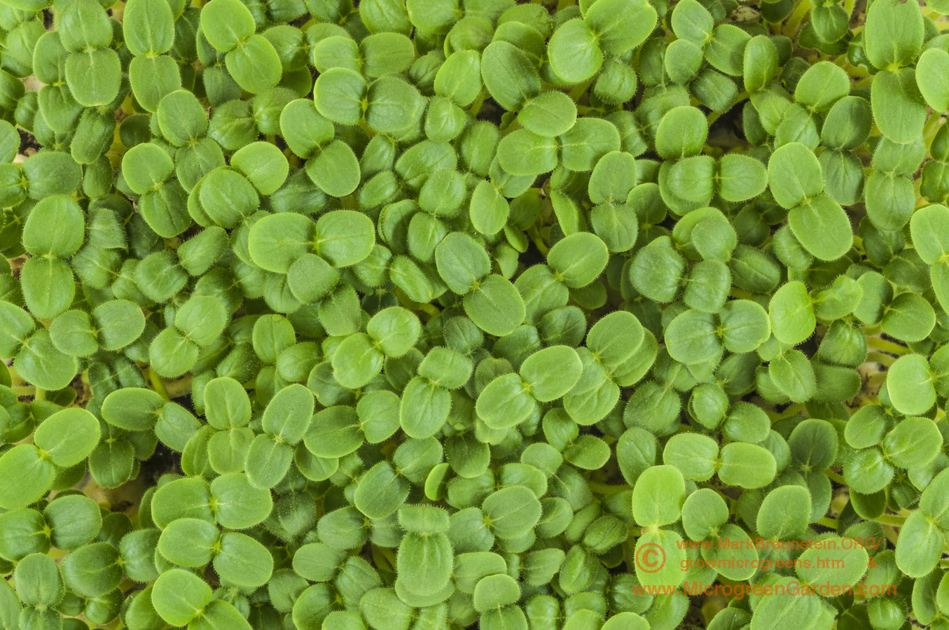 Pedaliaceae Family - SESAME microgreens, 12 days since sown